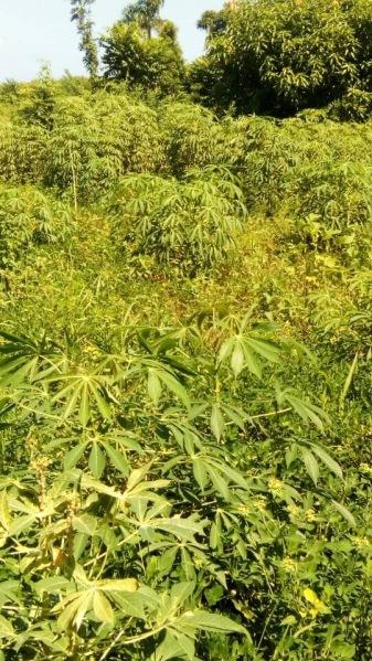 Abricot Benefic Manioc field